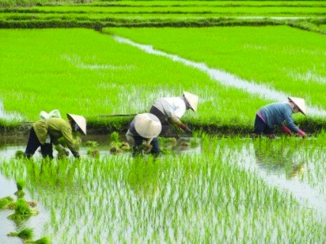 6952943-vietnamese-ladys-planting-rice-on-a-rice-paddy-field-in-vietnam-aisa